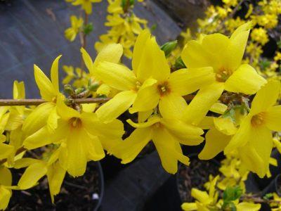 forsythia particolare dei fiori