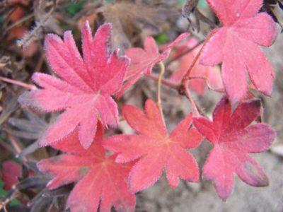gerani perenni foglie