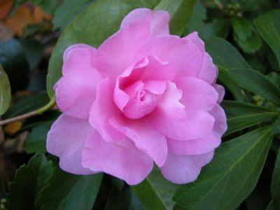 camellie japonica rosa