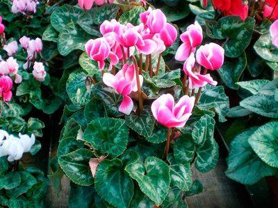 fioriture stagionali ciclamino