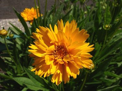 coreopsis a fiore doppio