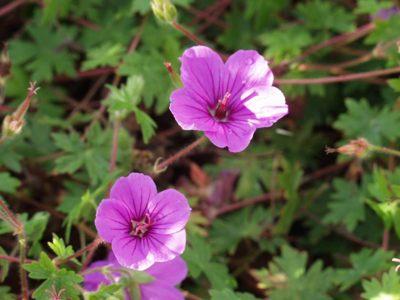 gerani perenni sanguineum fiori