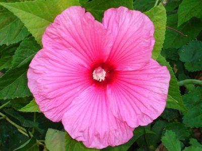 hibiscus-palustris