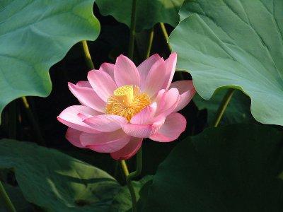 fiori di loto rosa