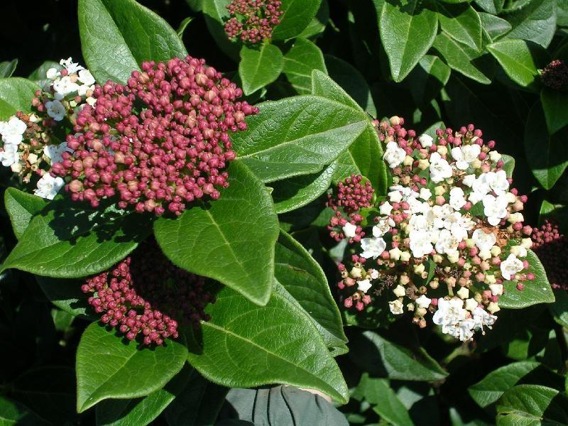 Viburnum tinus fiori e boccioli