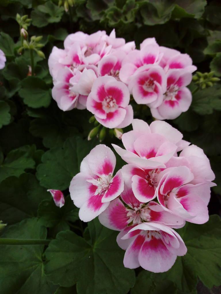 Piante Perenni Da Fiore vivaio il noce - modena - vendita fiori e piante da giardino