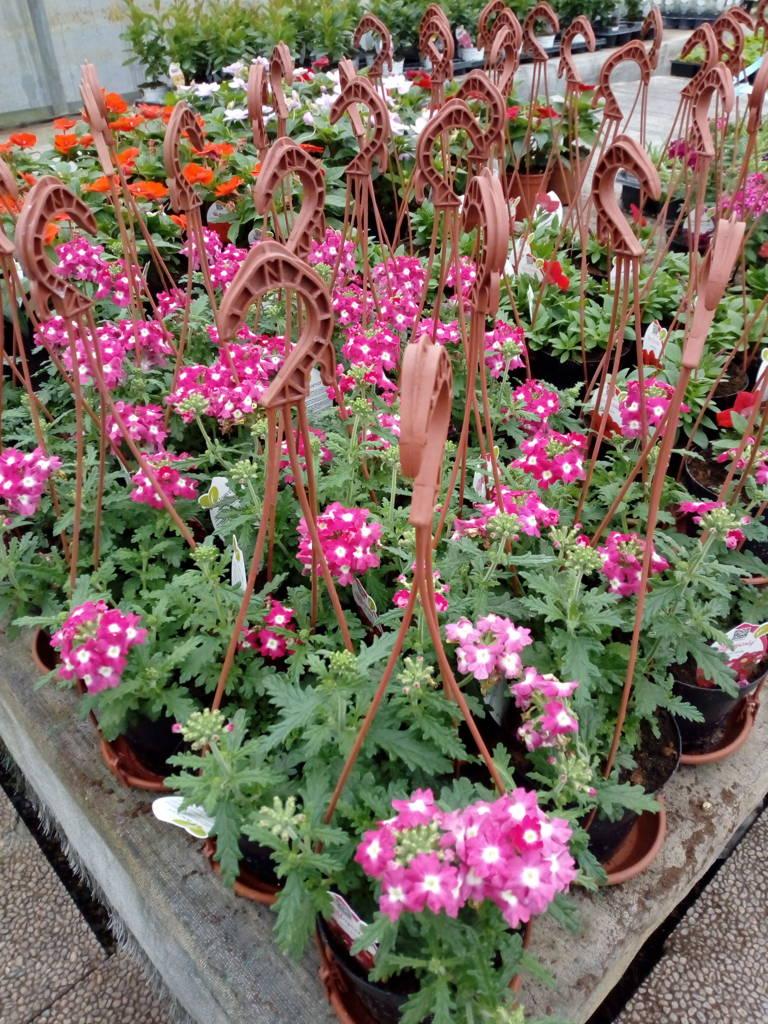 Fiori Perenni Da Balcone vivaio il noce - modena - vendita fiori e piante da giardino