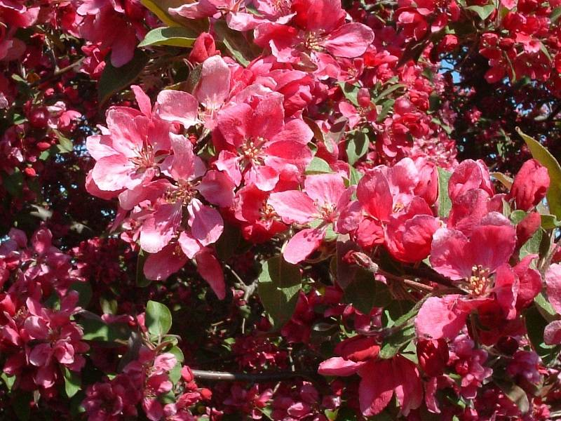 Melo da fiore Floribunda