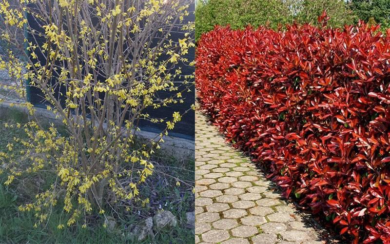 Cespugli in giardino: meglio sempreverdi o spoglianti?