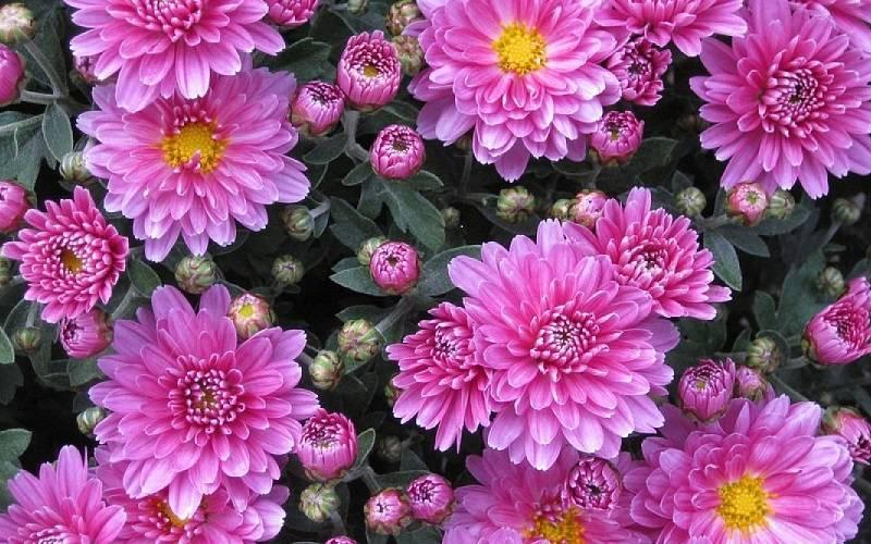 I Crisantemi, il trionfo del colore!
