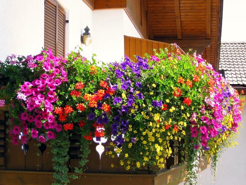 Gerani e Petunie: le piante regine dei balconi
