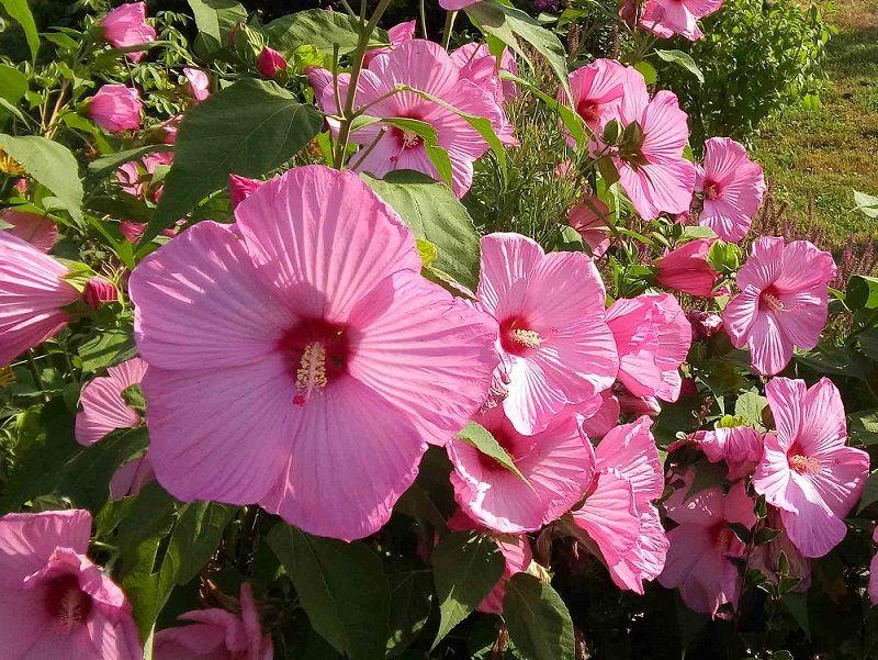Fioritura estiva delle piante perenni