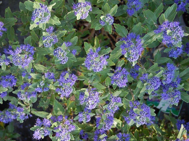 I cespugli a fioritura tardiva (prima parte)