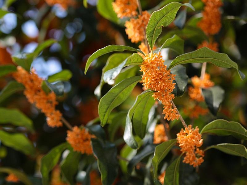 fioritura estiva degli Osmanthus_aurantiacum